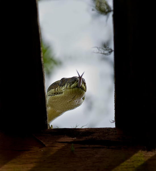 A carpet snake, with flicking tongue,  is looking into the opening of a wooden structure.