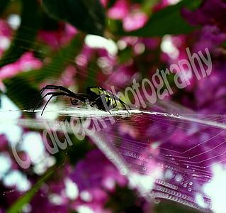 Male Garden Spider