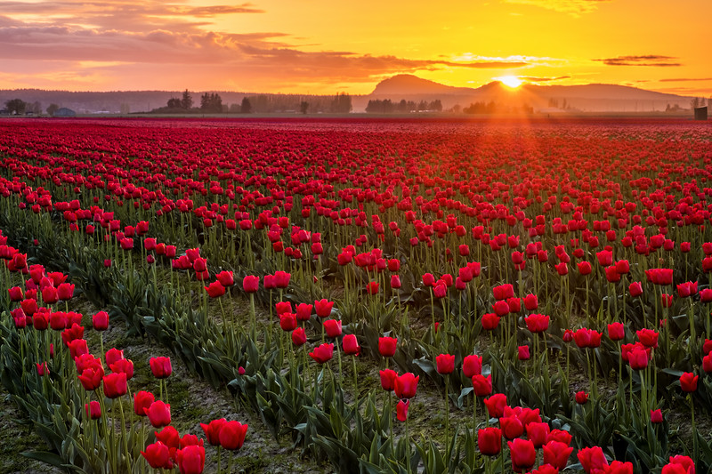 Skagit Valley Tulip Field at Sunset