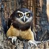 "Spectacled Owl - ""Estrella"""