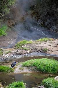 Geothermal Pukeko