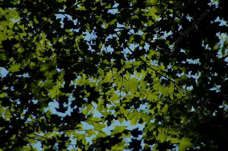 Canopy of leaves in Chestnut Ridge Park