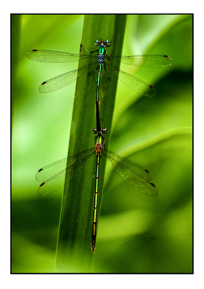 Dragon flies
