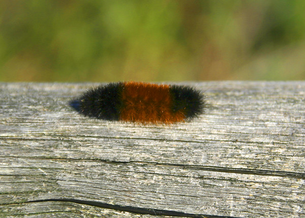 Banded Woolly Bear Caterpillar - How long will the winter be?