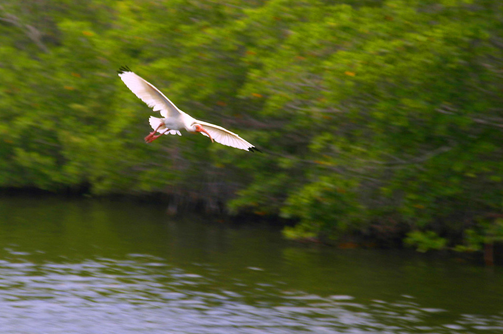 White Ibis - Florida Keys