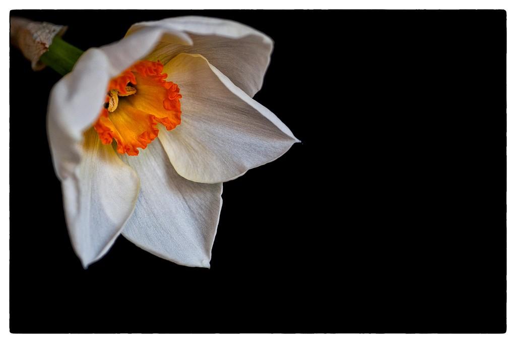 Delicate Daffodil