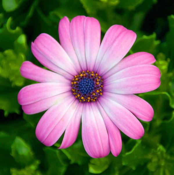 Pink Star Burst Daisey