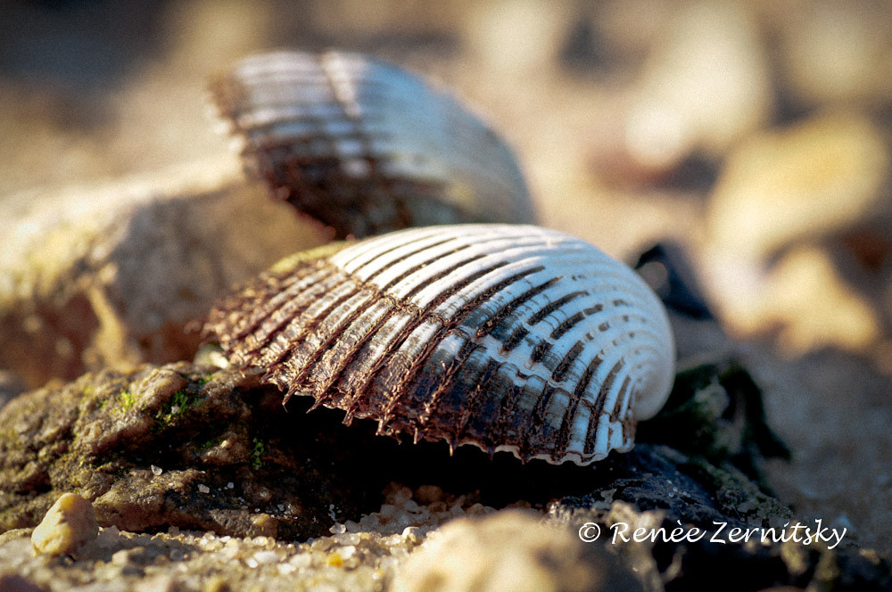 "Scallop Shells by the Sea "" you don't chose a life, you live one"""
