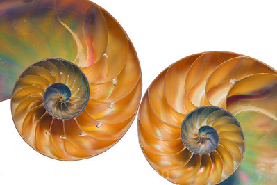 Pair of Nautilus Curls