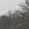 Eagles congregating along the Des Moines River near open water.