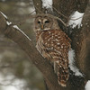 Taken from our kitchen window.  This is a barred owl, according to my bird book, perched in our neighbor's back yard.