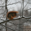 A bushy tail makes a good snow shelter