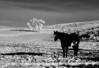 Il Cavallo Nella Neve Nera e Bianco