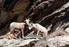 Chèvres de Montagne