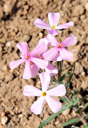 Phlox Aculeata