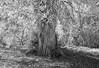 Batang Pohon