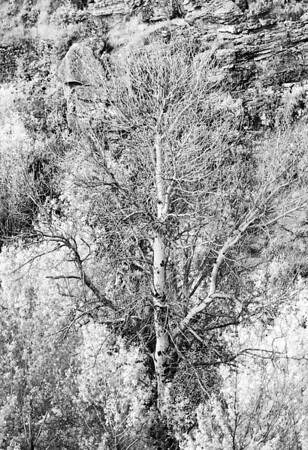 Tree at Secret Pass Infrared