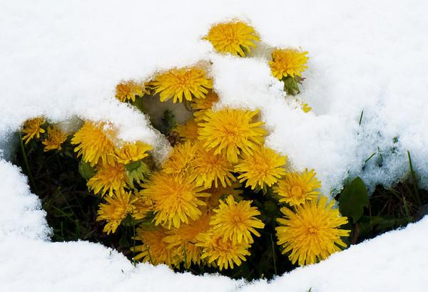 Voikukka Lumessa