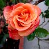 Rose in the rain.   3/22/2018