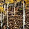 Aspen Trees Near Breckenridge CO 25