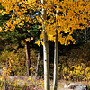 Aspen Tree Near Breckenridge CO