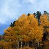 Aspen Trees Near Breckenridge CO