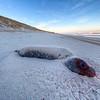 Dead seal