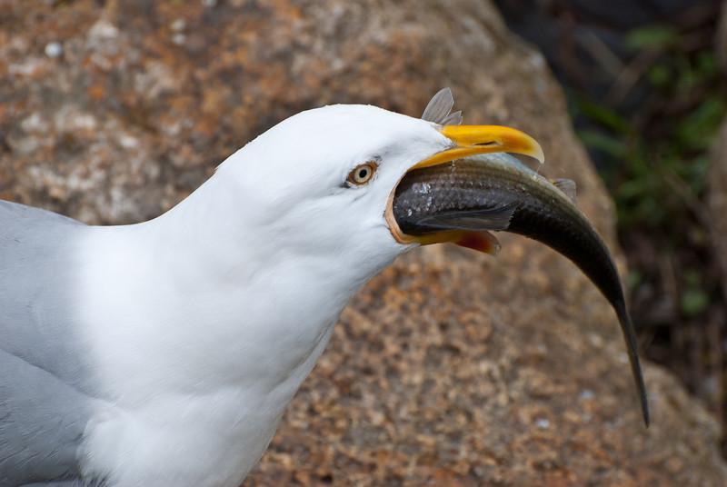 Seagull enjoying a herring during the herring run.