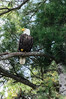 North American Bald Eagle at Square Pond in Shapleigh Maine