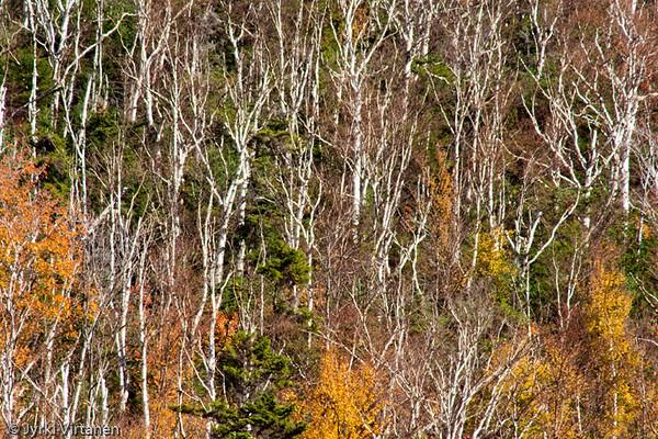 Naked Birches - New Hampshire, USA