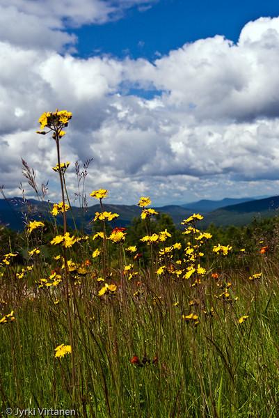 Mount Washington Flowers - New Hampshire, USA