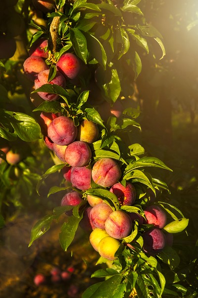 Ripening plums along  the Hood River Fruit Loop.<br /> © Cindy Clark