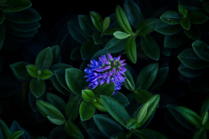 Purple hebe blooming on the Oregon coast in February (!).<br /> © Cindy Clark