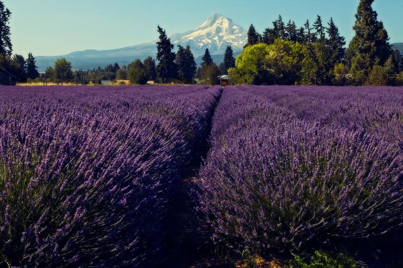 Mt. Hood overlooks a lavender farm on the Fruit Loop road.<br /> © Cindy Clark