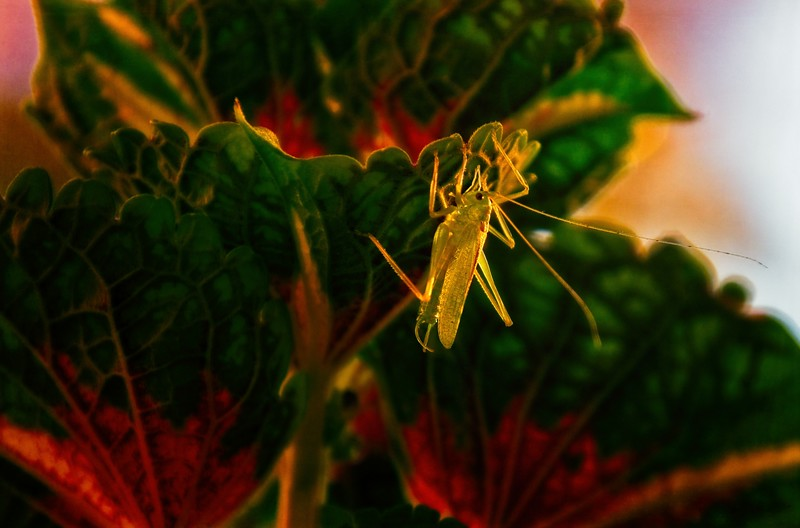 A brand-new katydid poses on our coleus plant.<br /> © Cindy Clark
