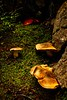A sampling of the plethora of fungi along the trail to Larch Valley in the Canadian Rockies.<br /> Photo © Carl Clark