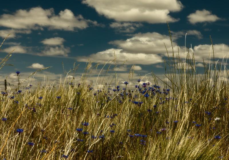 Bachelor buttons reach for the sky in the Palouse region of eastern Washington.<br /> © Cindy Clark