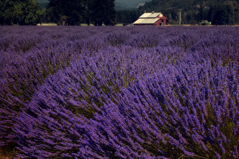 Lavender farm near Hood River, Oregon.<br />  © Cindy Clark