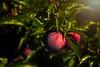 Good enough to eat!  Ripe plum along the Hood River Fruit Loop drive.<br /> © Cindy Clark