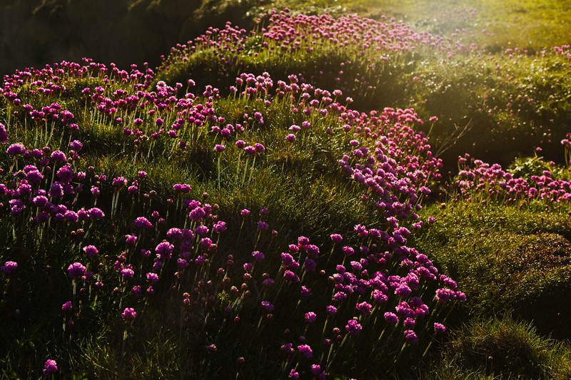 Sunlight filtering thru thrift flowers at Yachats, Oregon.<br /> © Cindy Clark