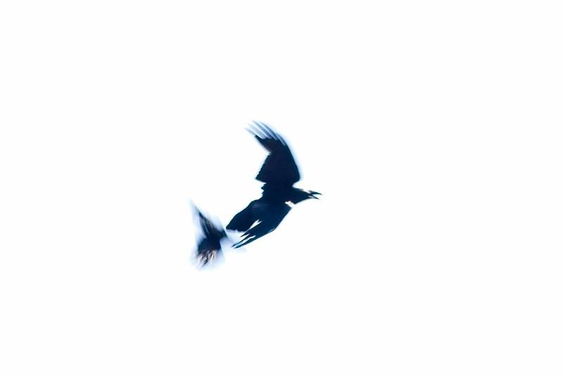 Ravens creating art.<br /> ©Carl Clark