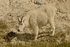 Despite repeated requests to move to a more contrasting background, this mountain goat, with a minimum of fuss, showed who's boss.<br /> Photo © Carl Clark