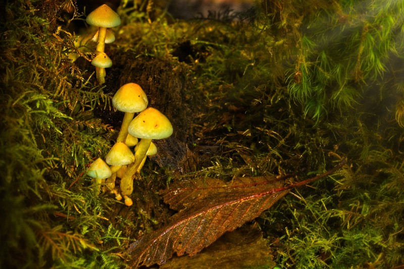 Mushrooms along the trail at Sweet Creek, east of Florence, Oregon.<br /> © Cindy Clark