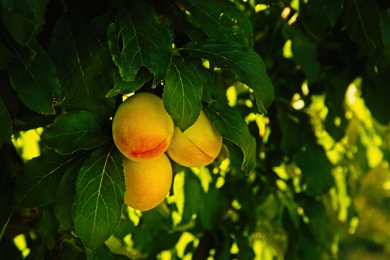 Blushing plums in an orchard on the Hood River Fruit Loop drive.<br /> © Cindy Clark