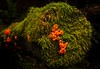 Jelly fungus at Washington Park, Anacortes, WA.<br /> © Cindy Clark