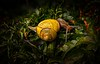 Why does a snail climb a maple tree? To have his photo taken, of course!<br /> © Cindy Clark