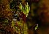 Close-up of fire moss.<br /> © Cindy Clark