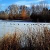 Canadian Geese in Denver Colorado Park 2