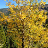 Another aspen tree in Colorado