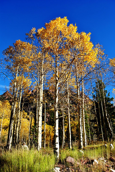 Aspen Trees at Maroon Bells in Colorado